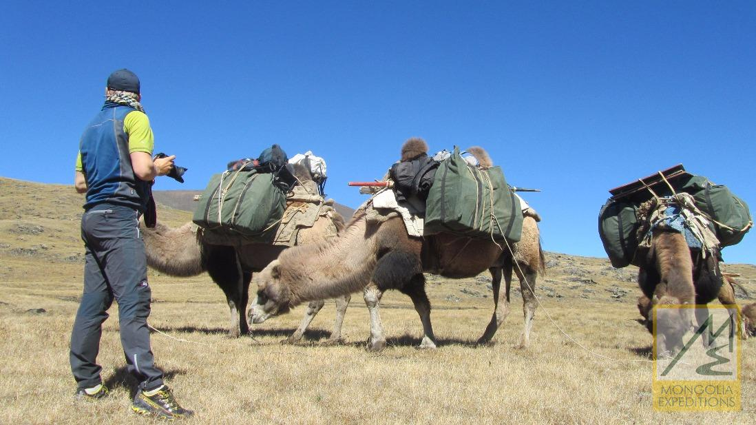 Altai mountain range camels